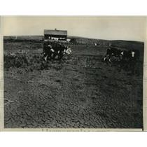 1936 Press Photo Cattle near Pierre, South Dakota searching for fodder