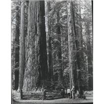 1977 Press Photo View of giant redwoods in Stout Grove Jedediah Smith State Park