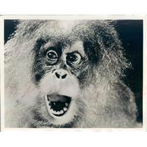 1931 Press Photo Monkey Actor in Paramount Film Rango - ner47733