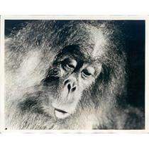 1931 Press Photo Monkey Actor in Paramount Film Rango - ner47735