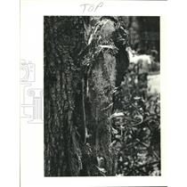 1982 Press Photo Piece of wing tip lodge in tree at Pan Am Flight 759 Crash site