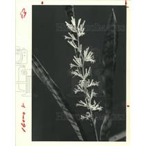 1980 Press Photo Blooming Mother-in-Law's Tongue Plant in Houston, Texas