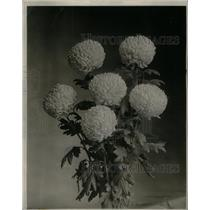 1924 Press Photo Chrysanthemum Flowers - RRX31099