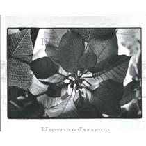 1977 Press Photo Poinsettias Plants Anderson - RRY16615