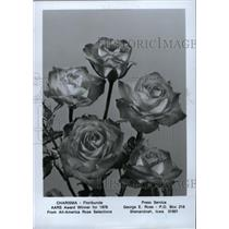 1977 Press Photo Roses Charisma Floribunda AARS - RRW75861