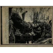 1974 Press Photo Giant Sequoias Tree Fresno California - RRW93279