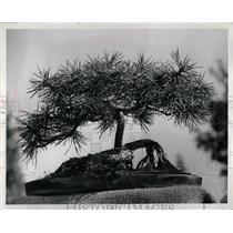 1980 Press Photo Bonsai - RRW93249