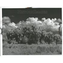 1976 Press Photo Palm Tree Sabal beautiful sky Nature - RRV89395