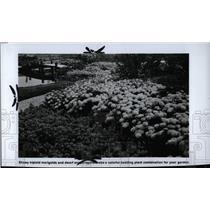 1976 Press Photo Marigolds - RRW77577