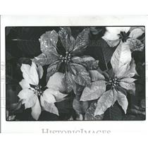 1977 Press Photo Poinsettias Plant Anderson Mexico Snap - RRY16613