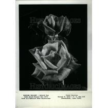 1974 Press Photo Hybrid Tea Rose/Perfume Delight/AARS - RRU19043