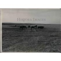 1936 Press Photo Livestock Grazing on Dry Grass From Drought in ND