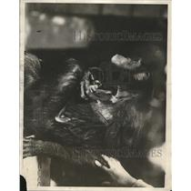 1914 Press Photo The First Captive Chimpanzee in All of The Western Hemisphere