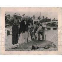 1921 Press Photo Injured Dolphin rescued. - nea78590