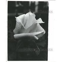 1980 Press Photo Bruce Ronont Roses White Pascali - RRT82835