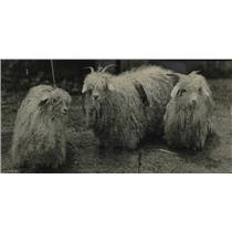 1926 Press Photo Goats with long hair.