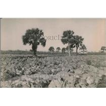 1920 Press Photo Field of Plants with Palm Trees - neb06750