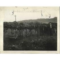 1918 Press Photo Guinea Butter bean plants growing