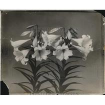 1925 Press Photo Easter Lilies Grown By Department Of Agriculture