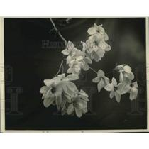 1924 Press Photo Magnolia Blossoms On Display