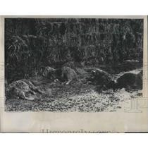 1949 Press Photo Newborn sheep passed away due to lack of food. - neb95517