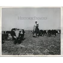 1956 Press Photo Zeev Ram  Israeli Cowboy Herds Cattle On Horse at Nirim