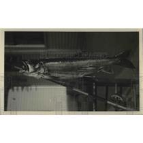 1924 Press Photo Trout Impaled Through Mouth By Fishing Rod Looks Very Dead