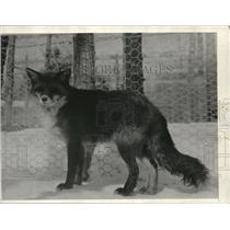 1932 Press Photo Sly Red Fox Winces In Snow As It Is Stuck Behind Gate