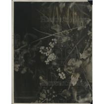 1924 Press Photo Oregon grape plant in bloom Glacier National Park