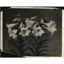 1924 Press Photo Flower Lilies