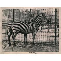 1921 Press Photo Zebras in a enclosure at a zoo