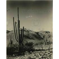 1926 Press Photo A large Saguaro cactus in the desert