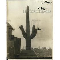 1923 Press Photo Saguarro cactus in southwest desert