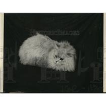 1920 Press Photo Winter Wonder a male chinchilla by Olive E Gilbert