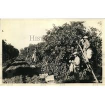 1927 Press Photo Grapefruit crops - nex26023