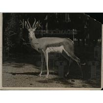 1920 Press Photo Bronx Zoo in NYC a Springbuck deer