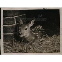 1921 Press Photo A baby fawn at Lincoln Park zoo in Chicago