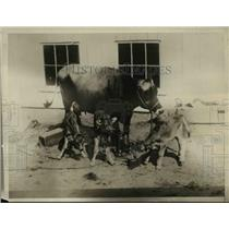 1929 Press Photo This cow is really contented now, she is the mother of triplets