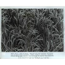 1917 Press Photo Rice field