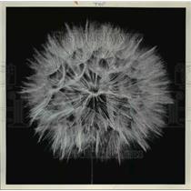 1977 Press Photo Wild Dandelion - cva62639