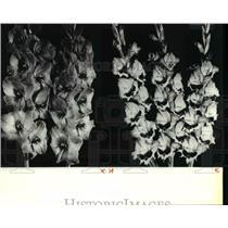 1982 Press Photo The 1982 All-America Gladiolus