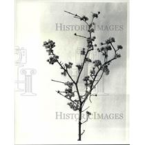 1988 Press Photo Cornus Flowers at Garden Center forcing branches