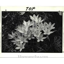1988 Press Photo Crocuses in Bloom