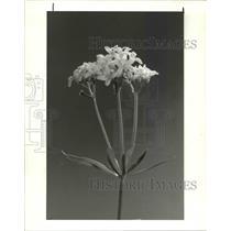 1982 Press Photo Sweet Woodruff flower