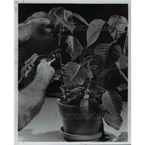 1977 Press Photo Pruning Poinsettias Plants