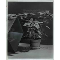 1977 Press Photo Poinsettia Plants
