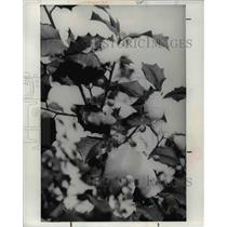 1977 Press Photo Yellow-berried Holly
