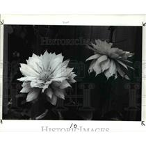 1988 Press Photo Clematis Hybrid