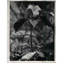 1977 Press Photo White Trillum