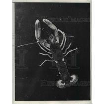 1937 Press Photo Rocky Lobster